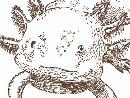 Illustration Axololt