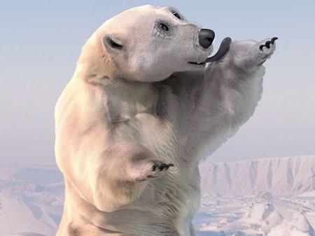 Polar Bear grooming