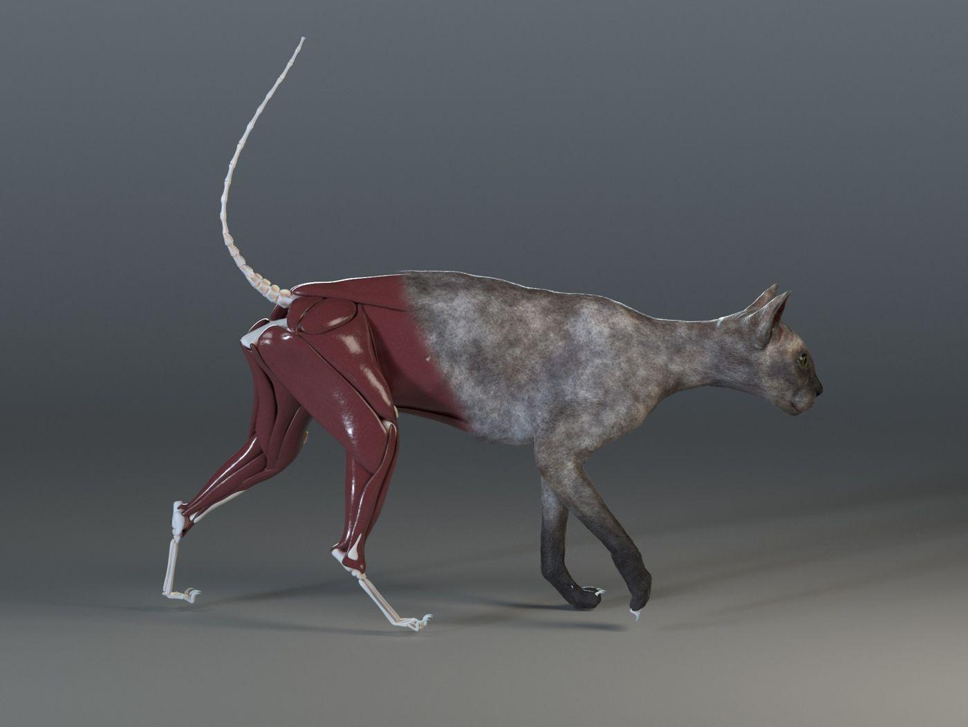 Walking Cat Anatomy Study