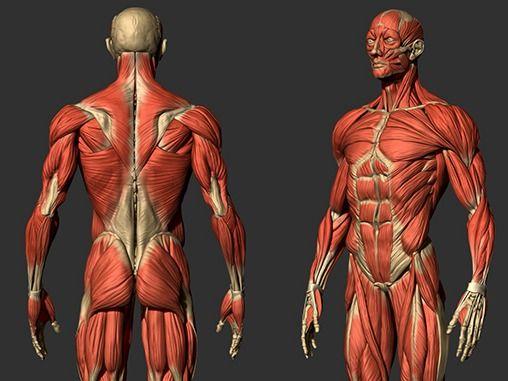Skinned human modeling