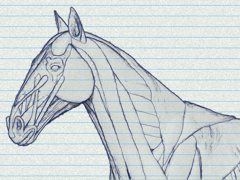 Horse écorché