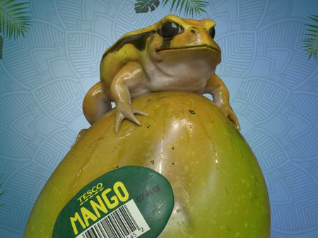 Mango the Tomato Frog