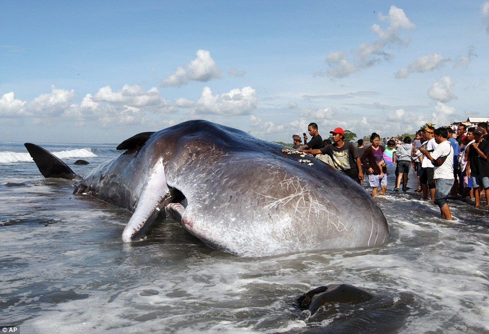322 Be00400000578 3491138 Indonesian Men Place Offerings For The Dead Whale On Its Back Wh A 1 1457946820460 Epide