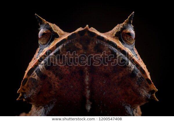 Horned Frog Face 600w 1200547408 Epide