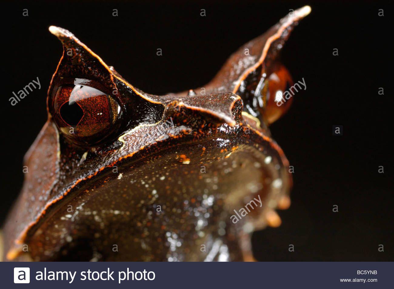Bornean Horned Frog Megophrys Nasuta Also Called Malayan Horned Frog Bc5 Ynb Epide