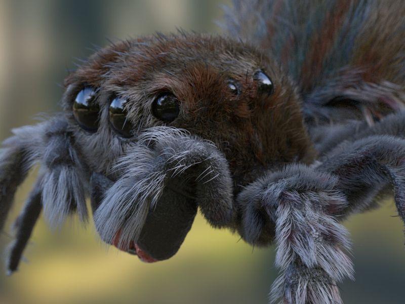 Australian Jumping Spider