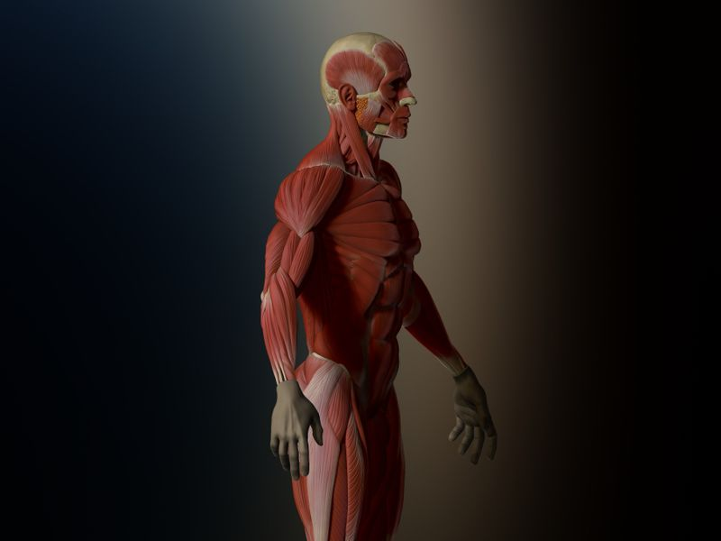 Male Ecorche - Anatomy Exercice