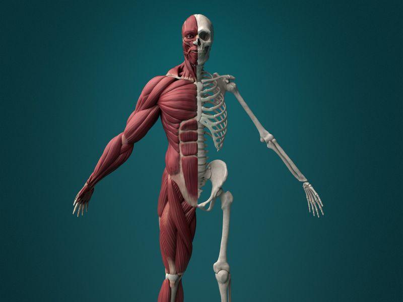 Human Muscle Écorché