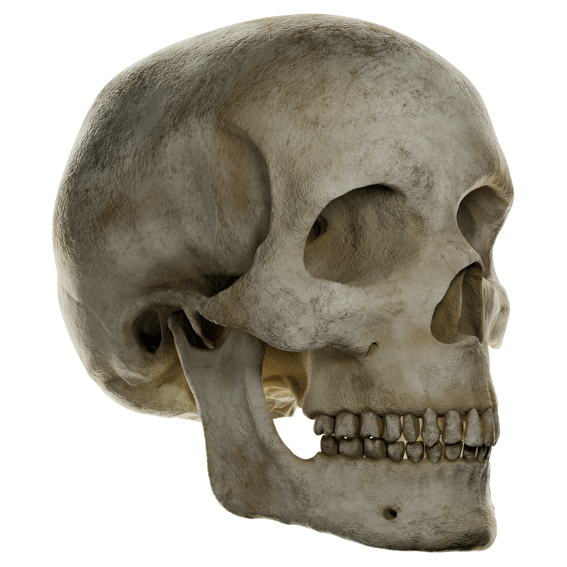 Skull: 3D Sculting and Texture