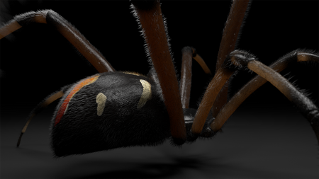Black Widow : Latrodectus Variolus