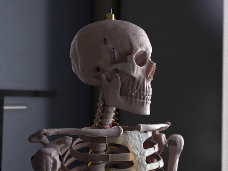 Still Life - Anatomical Skeleton