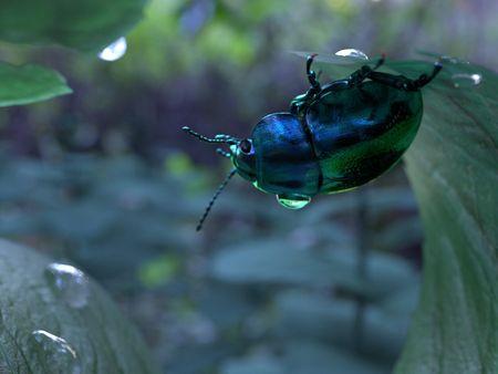 Blue Beetle & Mint