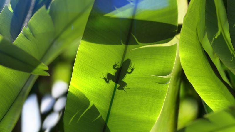 Rainforest Rocketfrog