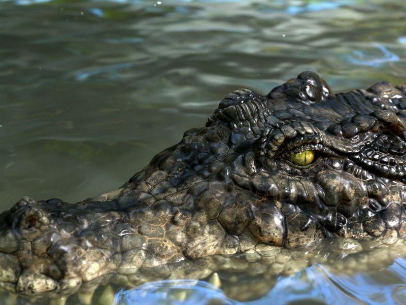 Imperial Crocodile