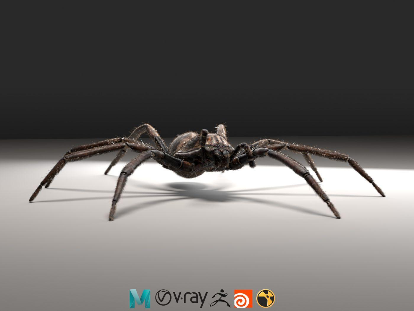 New Zealand Vagrant Spider