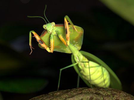 Tropical Shield Mantis