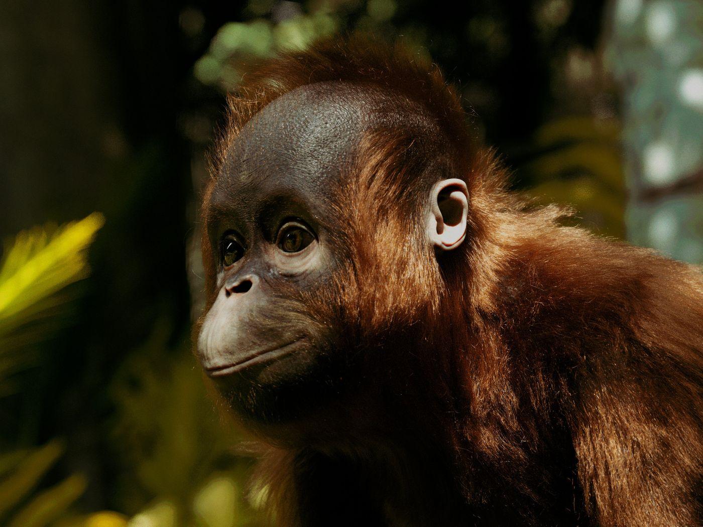 Boro-the Orangutan