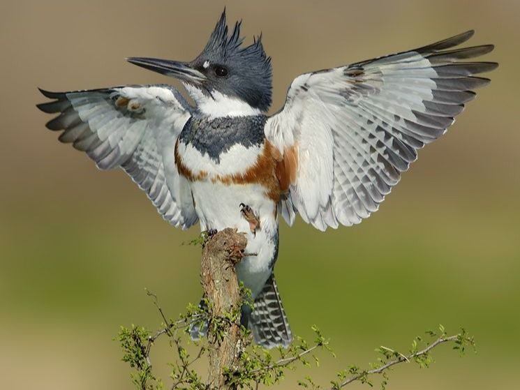 Summer Photorealism: Belted Kingfisher