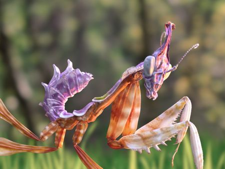 Baby Devil's Flower mantis