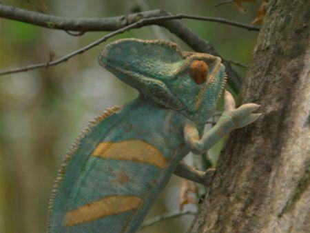 Chameleon Fact Files