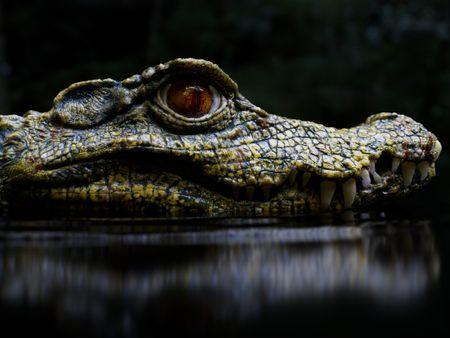 The Cuvier's dwarf caiman