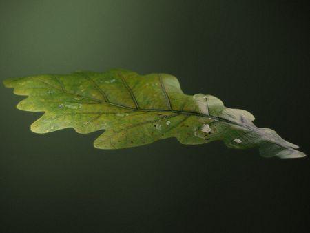 #WeeklyDrills 008 - Oak Leaf