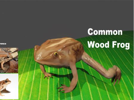 Animal Assignment: Common Wood Frog
