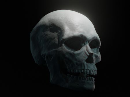 Male Skull - Anatomy Study